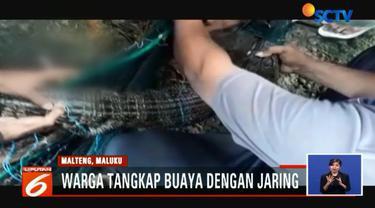 Secara bergotong-royong, warga pun berhasil menangkap buaya berukuran 1,5 meter ini menggunakan jaring.