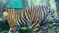 Harimau Bonita ketika masih bebas berkeliaran di Dusun Danau, Kecamatan Pelangiran, Kabupaten Indragiri Hilir. (Liputan6.com/Dok BBKSDA Riau/M Syukur)