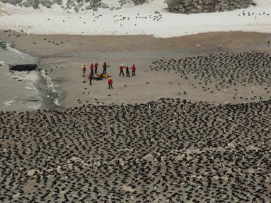 Sejumlah ilmuwan melakukan penelitian terhadap penguin Adelie di Pulau Heroina, Danger Islands, Antartika (2/3). Para ilmuwan telah menemukan koloni besar penguin langka di sebuah pulau Antartika terpencil. (Rachael Herman / Penguinwatch / AFP)