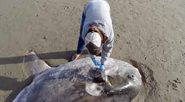 Seorang ahli konservasionis, Jessica Nielsen memeriksa hoodwinker sunfish yang terdampar di pantai Santa Barbara, California, (21/2). Ikan sebesar 2,1 meter pertama kali muncul di halaman Facebook Coal Oil Point. (Thomas Turner, UC Santa Barbara via AP)