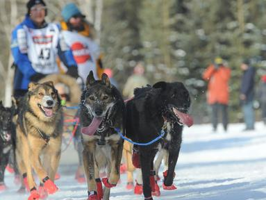 Penggembala Iditarod, Mishi Konno dan gerombolan anjingnya mengikuti perlombaan kereta luncur anjing Trail Iditarod di Anchorage, Alaska, 2 Maret 2019. Perlombaan tahunan itu diadakan dengan menempuh jarak sejauh 1.609 km ke kota Nome (AP/Michael Dinneen)