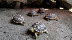 Lima kura-kura Afrika yang baru lahir (Centrochelys Sulcata) berjalan di kebun binatang, Guadalajara, negara bagian Jalisco, Meksiko (17/5). (AFP Photo/Ulises Ruiz)