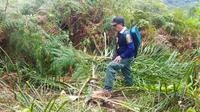 Pohon sawit muda yang tumbang karena dimakan gajah liar di Kabupaten Indragiri Hilir. (Liputan6.com/M Syukur)