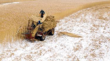 Pemandangan udara menunjukkan pekerja lapangan memotong buluh di The Vistula Spit dekat Desa Jagodno, dekat Elblag, Polandia utara, 19 Februari 2021. Buluh tersebut dipotong di musim dingin dengan pemanen khusus selama cuaca beku. (MATEUSZ SLODKOWSKI/AFP)