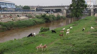 Kambing memakan rumput di bantaran Sungai Ciliwung, Jakarta, Rabu (7/11). Rumput yang menghijau di kawasan tersebut dimanfaatkan peternak untuk menggembalakan kambingnya. (Liputan6.com/Immanuel Antonius)