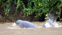 Habitat Terganggu, Jumlah Pesut Mahakam Kurang dari 90 Ekor. (Foto: news.kutaikartanegarakab.go.id)