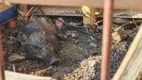 Diduga babi ngepet diamankan warga RT 2/RW 4, Kelurahan Bedahan, Kecamatan Sawangan, Kota Depok. (Liputan6.com/Dicky Agung Prihanto)