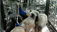 Tujuh ekor burung merak yang baru menyeberang dari Malaysia disita BBKSDA Riau. (Liputan6.com/M Syukur)