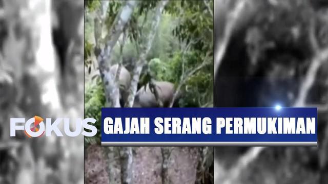 Setidaknya ada 12 ekor gajah yang merusak kebun pisang warga untuk mencari makan, karena diduga sumber makanan hewan yang memiliki belalai ini sudah habis di habitatnya.