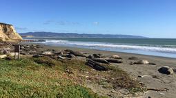 Sekelompok gajah laut mengambil alih Pantai Drakes di California, Jumat (1/2). Para gajah laut tersebut berhasil menerobos  pantai dengan merobohkan pagar dan masuk ke lahan parkir. (John Dell'Osso/Point Reyes National Seashore via AP)