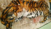 Kulit harimau sumatra yang disita petugas dari pemburu harimau sumatra di Provinsi Riau. (Liputan6.com/M Syukur)