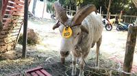 Domba Garut bertanduk empat dan berbobot 60 kilogram dijual Rp 12 juta (Foto: Liputan6.com/Dian Kurniawan)