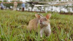 Seekor tikus saat mendeteksi ranjau selama latihan di Siem Reap, Kamboja (13/7/2015). APOPO telah menggunakan tikus untuk proyek tambang-kliring di beberapa negara, termasuk Angola, Mozambik, Thailand, Laos, dan Vietnam. (REUTERS/Samrang Pring)