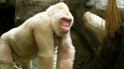 Gorilla merupakan hewan yang terkenal akan kekuatannya, dan kepintarannya. Gorilla albino sangat langka di dunia. Gorilla ini memiliki umur di antara 38 - 40 tahun yang merupakan umur paling tinggi di antara gorilla pada umumnya. (matome.naver.jp)