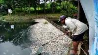 Ribua ekor ikan tawar yang dibudidayakan di Setu Citongtut, Desa Cicadas, Kecamatan Gunungputri Kabupaten Bogor mati mendadak.