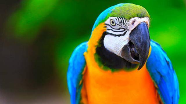 Unduh 87+ Gambar Burung Beo Paling Bagus Gratis