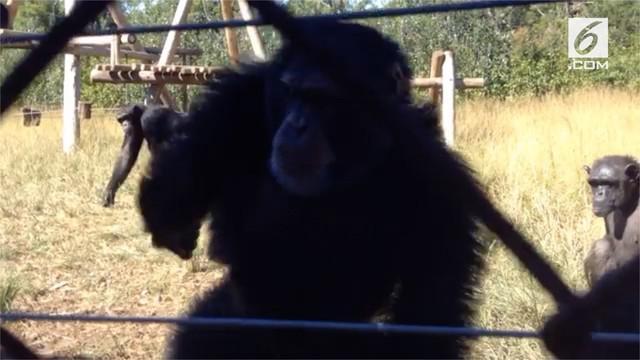 Simpanse di cagar alam, Afrika Selatan, berjoget riang saat mendengarkan alunan musik dari seorang turis asal California.