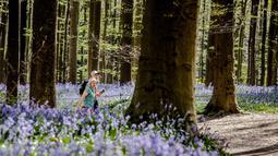 Pasangan berjalan di antara bunga bluebell yang bermekaran di hutan Hallerbos, Belgia, Kamis (19/4). Bunga mungil itu hanya sekitar 10-30 sentimeter dan tumbuh di setiap jengkal tanah Hallerbos, bercokol di kaki pepohonan. (AP/Geert Vanden Wijngaert)