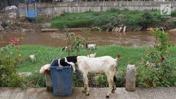 Kambing mencari makanan dari tempat sampah di bantaran Sungai Ciliwung, Jakarta, Rabu (7/11). Rumput yang menghijau di kawasan tersebut dimanfaatkan peternak untuk menggembalakan kambingnya. (Liputan6.com/Immanuel Antonius)