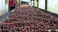Sintaro, kopi andalan lokal Bengkulu berkualitas ekspor (Liputan6.comYuliardi Hardjo)