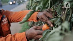 Harun (50) saat merawat kebun sayur di pinggir Jalan Tol Becakayu, Jakarta, Kamis (18/6/2020). Di masa pandemi Covid-19 tak mengurungkan semangat Harun untuk mengurus kebun sayurnya itu namun dirinya juga tetap mengutamakan protokol kesehatan. (merdeka.com/Iqbal S. Nugroho)