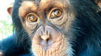 Limbani, simpanse viral dari Zoological Wildlife Park Miami. (Facebook ZWF)