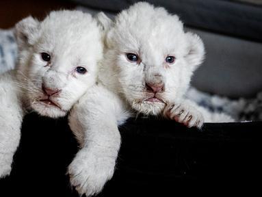 """Gambar pada 11 Agustus 2019, memperlihatkan dua anak singa putih berbaring di keranjang mereka di pusat perawatan singa/harimau """"Caresse de tigre"""", di La Mailleraye-sur-Seine, Prancis. Dua anak singa putih, bernama Nala dan Simba tersebut lahir pada akhir Juli 2019. (LOU BENOIST/AFP)"""