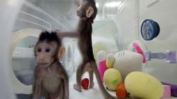 Dua monyet kloning, Zhong Zhong dan Hua Hua, berada dalam kandang di sebuah laboratorium di China. Adapun dua monyet di China ini dikloning dengan menggunakan teknik bernama Somatic Cell Nucleus Transfer (SCNT). (Chinese Academy of Sciences via AP)