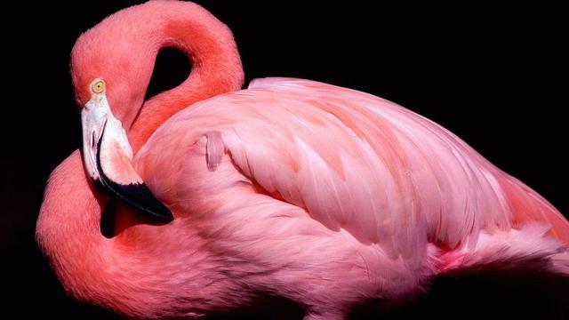 970+ Foto Gambar Burung Flamingo Hd HD Paling Bagus Gratis