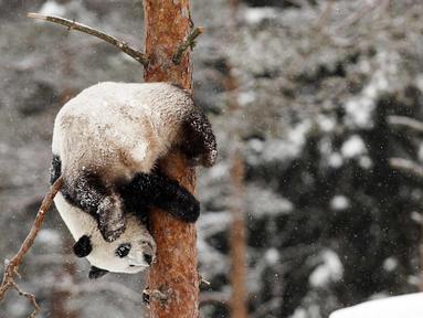 Panda wanita Jin Bao Bao, bernama Lumi dalam bahasa Finlandia bergelantungan di pohon saat bermain salju pada hari pembukaan Resort Snowpanda di Kebun Binatang Ahtari, di Ahtari, Finlandia, (17/2). (Roni Rekomaa / Lehtikuva via AP)