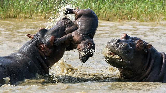 Seorang fotografer amatir mendapatkan momen mengejutkan di iSimangaliso Wetland Park, Afrika Selatan.