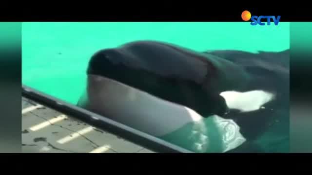 Paus pembunuh bernama Wikie ini dapat berbicara layaknya manusia.