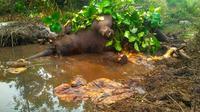 Gajah Dita yang ditemukan mati di kubangan Suaka Margasatwa Balai Raja Bengkalis karena infeksi menahun di kakinya. (Liputan6.com/dok RSF/M Syukur)