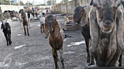 Puluhan kambing berkeliaran di jalur inspeksi Kanal Banjir Barat, Jakarta, Rabu (17/2). Kurangnya ruang terbuka hijau membuat peternak terpaksa mengembalakan hewan ternaknya di tempat yang tidak semestinya. (Liputan6.com/Immanuel Antonius)