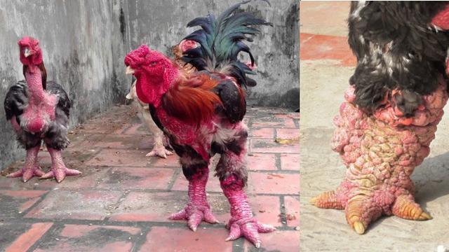 62 Gambar Ayam Vietnam Paling Keren