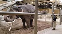 Kebun binatang di Amerika Serikat menampilkan cuplikan video gajah yang tengah berlatih gerakan yoga. (dok. Facebook/Columbus Zoo and Aquarium)