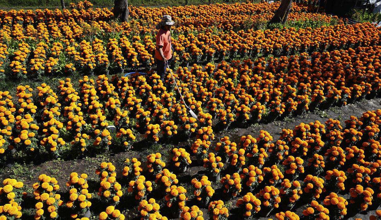 Pekerja menyiram Marigold di sebuah perkebunan di Xochimilco, pinggiran Mexico City, Meksiko, 13 Oktober 2021. Di Meksiko, Marigold juga dikenal sebagai cempasúchil atau bunga kematian dan digunakan pada perayaan Day of the Dead atau Hari Kematian setiap 2 November. (AP Photo/Marco Ugarte)