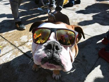 Seekor anjing Bulldog mengenakan kacamata saat berkumpul untuk meraih Rekor Guinness di Mexico City di Meksiko (26/2). Dalam acara ini sebanyak 950 anjing Bulldog ikut berkumpul ditempat tersebut. (AFP/Alfredo Estrella)