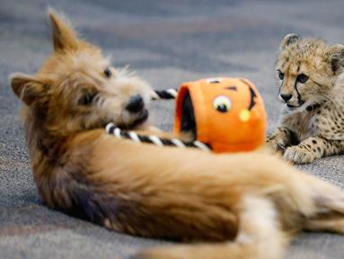 Bayi cheetah bernama Kris dan anak anjing bernama Remus terlihat akrab di Kebun Binatang Cincinnati, Ohio, Amerika Serikat, Rabu (9/10/2019). Kris merupakan satu-satunya bayi cheetah yang selamat setelah ibunya melahirkan tiga anak. (AP Photo/John Minchillo)