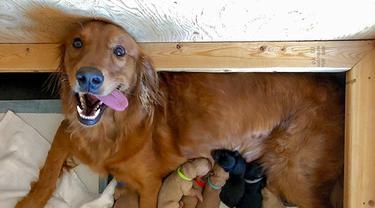 7 Potret Gemas Induk Anjing Saat Menyusui Anak-anaknya, Lucu Banget