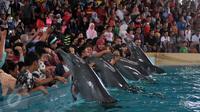 Pengunjung memegang empat ekor lumba-lumba di kawasan wisata Ancol, Jakarta, Senin (8/2). Dalam rangka liburan Imlek, Ancol menampilkan pertunjukan lumba-lumba berkolaborasi dengan barongsai untuk menghibur wisatawan. (Liputan6.com/JohanTallo)