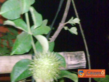 Citizen6, Sumatra Utara: Sebuah bunga tulip yang tumbuh di desa Tanjung Gusti, Kecamatan Galang, Kabupaten Deli Serdang, Sumatra Utara ini tergolong unik karena berbuah rambutan. (Pengirim: Aidil Khairisyah)