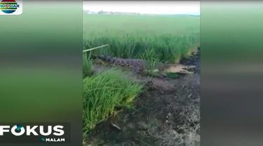 Keberadaan buaya muara mengagetkan sejumlah petani yang hendak ke sawah.