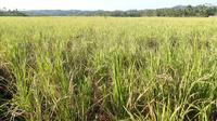 Ilustrasi – Ratusan hektare sawah di Banyumas puso akibat kemarau yang tiba terlalu dini. (Foto: Liputan6.com/Muhamad Ridlo)