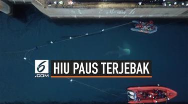 Sejumlah hiu paus terjebak di kanal inlet PLTU Paiton, Probolinggo, Jawa Timur. Ukurannya berkisar antara 4,5 hingga 5 meter.