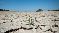 Tanaman terlihat di bagian kering dasar Sungai Loire di Montjean-sur-Loire, Prancis barat (24/7/2019). Gelombang panas tengah melanda sebagian besar Eropa termasuk Prancis yang akan mencetak rekor suhu terbaru di beberapa negara. (AFP Photo/Loic Venance)