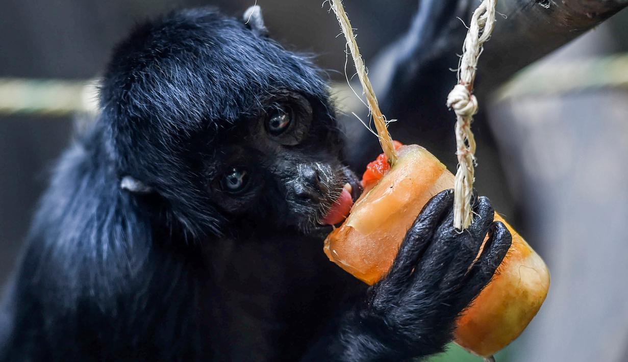 Monyet laba-laba (Ateles fusciceps) menjilat es krim buah di Kebun Binatang Santa Fe di Medellin, Kolombia pada 25 Januari 2020. Para penjaga kebun binatang memberikan es krim khusus pada hewan karena hamparan cuaca yang cukup panas di kota tersebut. (Photo by Joaquin SARMIENTO / AFP)