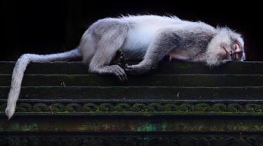 Monyet ekor panjang tidur di Sacred Monkey Forest atau yang lebih dikenal dengan Monkey Forest di Ubud, Bali pada 16 November 2018. Keunikan hutan ini adalah terdapatnya ratusan Kera Bali ekor panjang yang bebas berkeliaran di alam. (GABRIEL BOUYS/AFP)