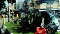 Seorang petugas saat pagi hari merawat tanaman lidah mertua di salah satu perempatan jalan Kota Makassar, Sulsel. (Liputan6.com/Ahmad Yusran)