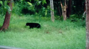 Beruang madu berkeliaran
